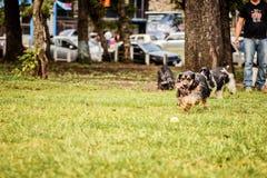 Perro de aguas de cocker negro Foto de archivo