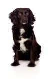Perro de aguas de cocker negro hermoso Imagenes de archivo