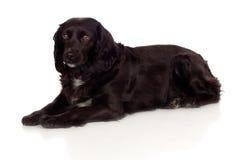 Perro de aguas de cocker negro hermoso Imágenes de archivo libres de regalías