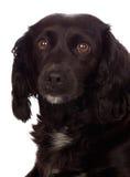 Perro de aguas de cocker negro hermoso Fotografía de archivo libre de regalías