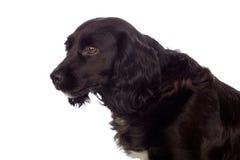 Perro de aguas de cocker negro hermoso Foto de archivo libre de regalías