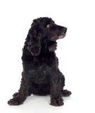Perro de aguas de cocker negro hermoso Fotos de archivo