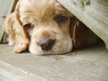 Perro de aguas de cocker que mira a escondidas bajo la cerca fotos de archivo