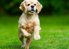 Perro de aguas de cocker que se ejecuta en la hierba Imágenes de archivo libres de regalías