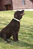 Perro de aguas de la primavera Imagenes de archivo