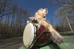Perro de aguas de oro con el rastaman indio Ukreina del tambor Foto de archivo