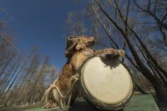 Perro de aguas de oro con el rastaman indio Ukreina del tambor Imagen de archivo