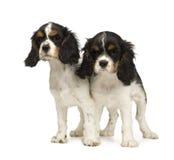 Perro de aguas de rey arrogante Charles de los perritos (3 meses) Imagen de archivo