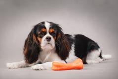 Perro de aguas de rey Charles Imagen de archivo libre de regalías