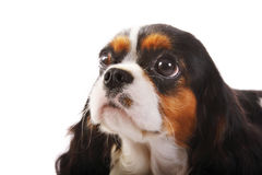 Perro de aguas de rey Charles arrogante Imágenes de archivo libres de regalías