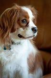 Perro de aguas de rey Charles arrogante Imagen de archivo libre de regalías