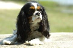Perro de aguas de rey Charles arrogante Fotos de archivo