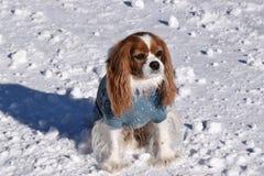 Perro de aguas de rey Charles arrogante Fotografía de archivo