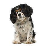 Perro de aguas de rey Charles arrogante (5 años) Fotos de archivo libres de regalías