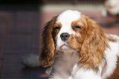 Perro de aguas de rey Charles arrogante hermoso y soñoliento imagenes de archivo