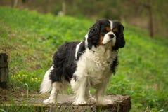 Perro de aguas de rey Charles arrogante orgulloso Fotografía de archivo