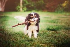Perro de aguas de rey Charles arrogante tricolor joven que juega con el palillo en verano Foto de archivo libre de regalías