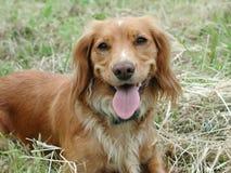 Perro de aguas de saltador Foto de archivo libre de regalías