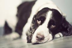 Perro de aguas de saltador imágenes de archivo libres de regalías