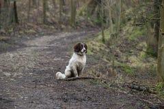 Perro de aguas de saltador Imagen de archivo libre de regalías
