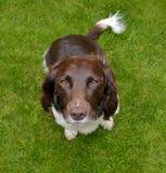 Perro de aguas de saltador Foto de archivo