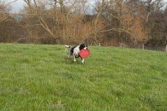 Perro de aguas de saltador con el juguete Fotos de archivo libres de regalías
