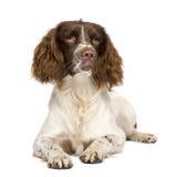 Perro de aguas de saltador inglés (10 meses) foto de archivo libre de regalías