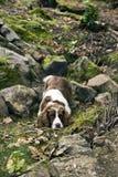Perro de aguas de saltador inglés Imagen de archivo