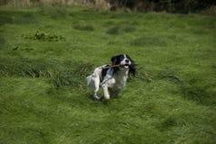 Perro de aguas de saltador inglés Foto de archivo