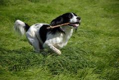 Perro de aguas de saltador inglés Fotografía de archivo libre de regalías