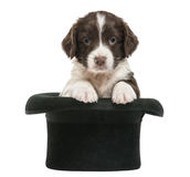 Perro de aguas de saltador inglés, 5 semanas de viejo, sentándose fotografía de archivo libre de regalías