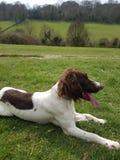 Perro de aguas de saltador inglés Foto de archivo libre de regalías