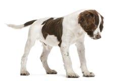 Perro de aguas de saltador inglés que mira abajo Imagenes de archivo