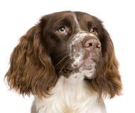 Perro de aguas de saltador inglés, 10 meses Fotos de archivo libres de regalías