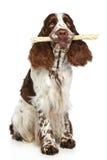 Perro de aguas de saltador que juega con un palillo Imagen de archivo libre de regalías