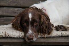Perro de aguas de saltador soñoliento Fotografía de archivo libre de regalías