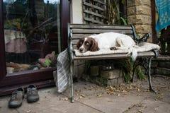 Perro de aguas de saltador soñoliento Imagen de archivo