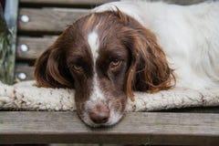 Perro de aguas de saltador soñoliento Foto de archivo