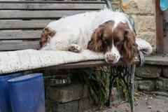 Perro de aguas de saltador soñoliento Imagenes de archivo