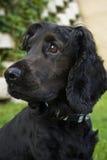 Perro de aguas del inglés negro - perfil lateral imagenes de archivo