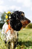 Perro de aguas en fondo verde fotografía de archivo libre de regalías