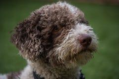 Perro de aguas espa?ol fotografía de archivo libre de regalías