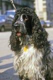 Perro de aguas inglés, NY imágenes de archivo libres de regalías
