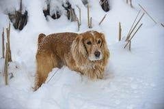 Perro de aguas de oro en la caza del invierno en la nieve 2018 fotografía de archivo
