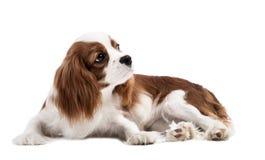 Perro de aguas de rey Charles arrogante Foto de archivo libre de regalías