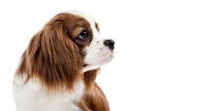 Perro de aguas de rey Charles arrogante Fotografía de archivo libre de regalías