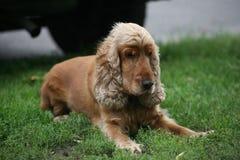 Perro de aguas rojo viejo Imagen de archivo