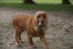 Perro de aguas rojo viejo Fotografía de archivo libre de regalías