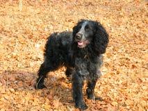 Perro Perro de aguas ruso imagen de archivo libre de regalías