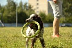 Perro de aguas ruso de la caza Perro enérgico joven en un paseo Educación de los perritos, cynology, entrenamiento intensivo de p foto de archivo